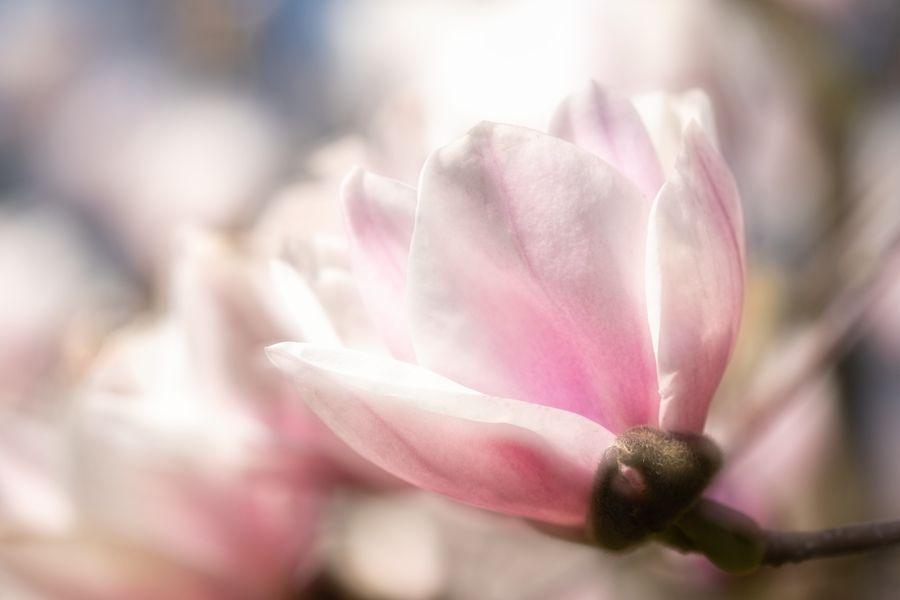 magnolia-tulpenboom-pastel