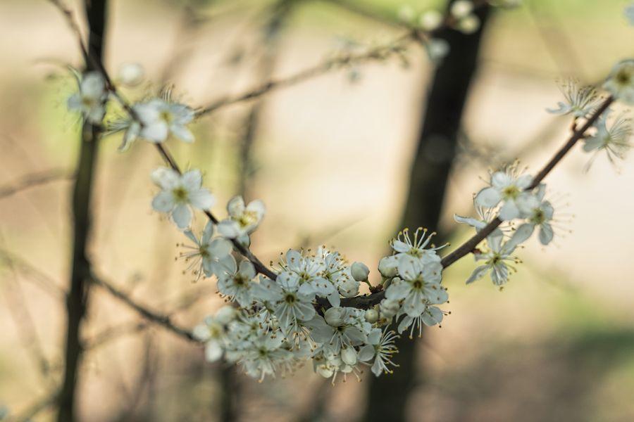 sleedoorn-bloesem-macrofotografie- helios