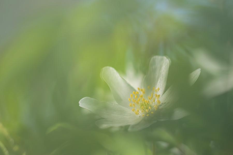 bosanemoon-natuurfoto-macrofotografie