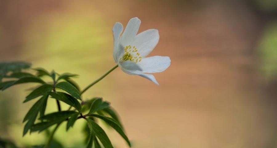 bosanemoon-natuurfotografie-voorjaar