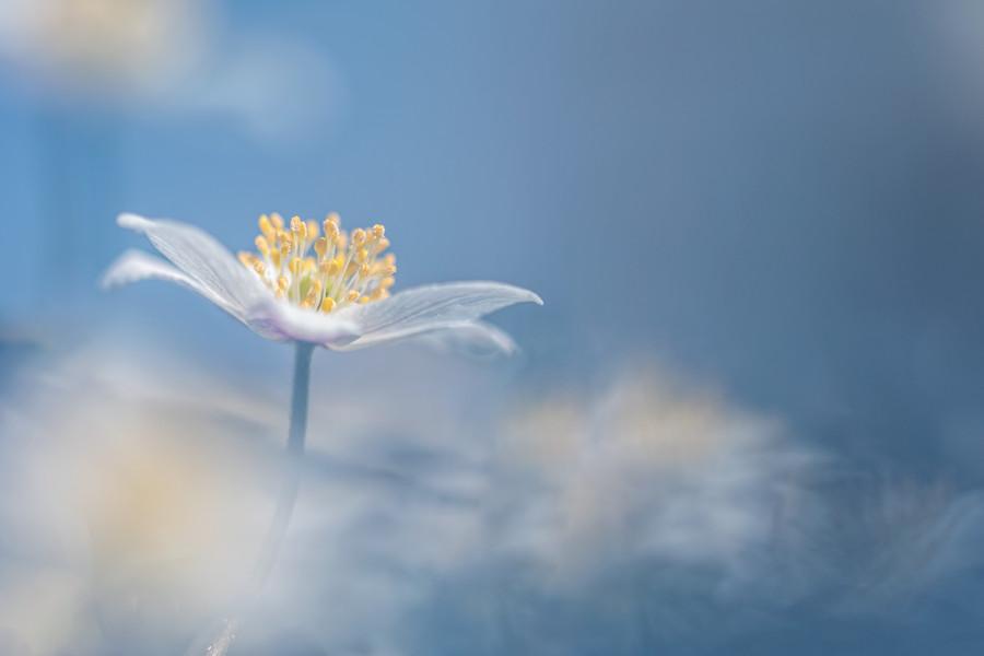 bosanemoon-voorjaar-bloem