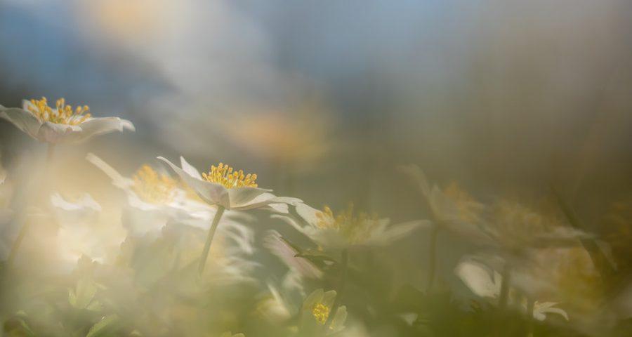 bosanemonen-macrofotografie-natuurfotografie
