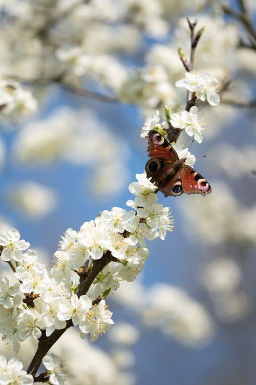 dagpauwoog-bloesem-vlinder-natuur