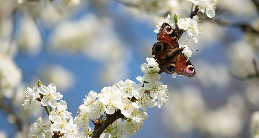dagpauwoog-vlinder-bloesem-macrofotografie