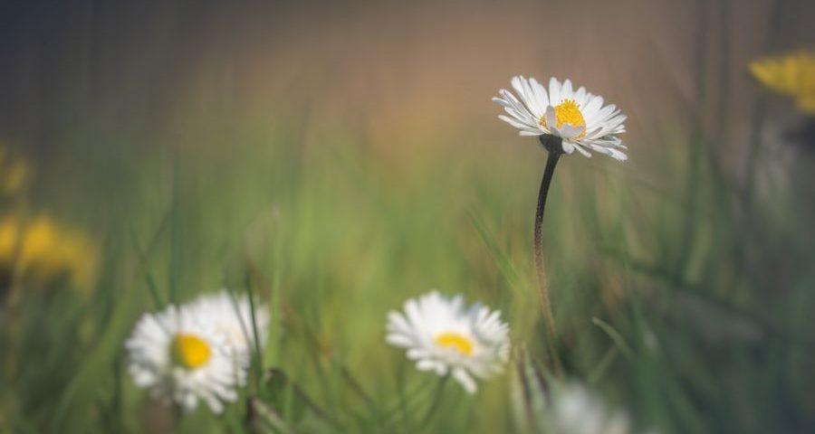 madeliefjes-weidebloemen-macrofotografie
