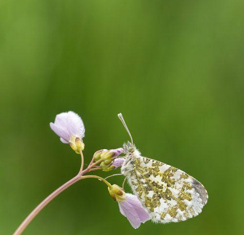 oranjetipje-vlinder-pinksterbloem-macro