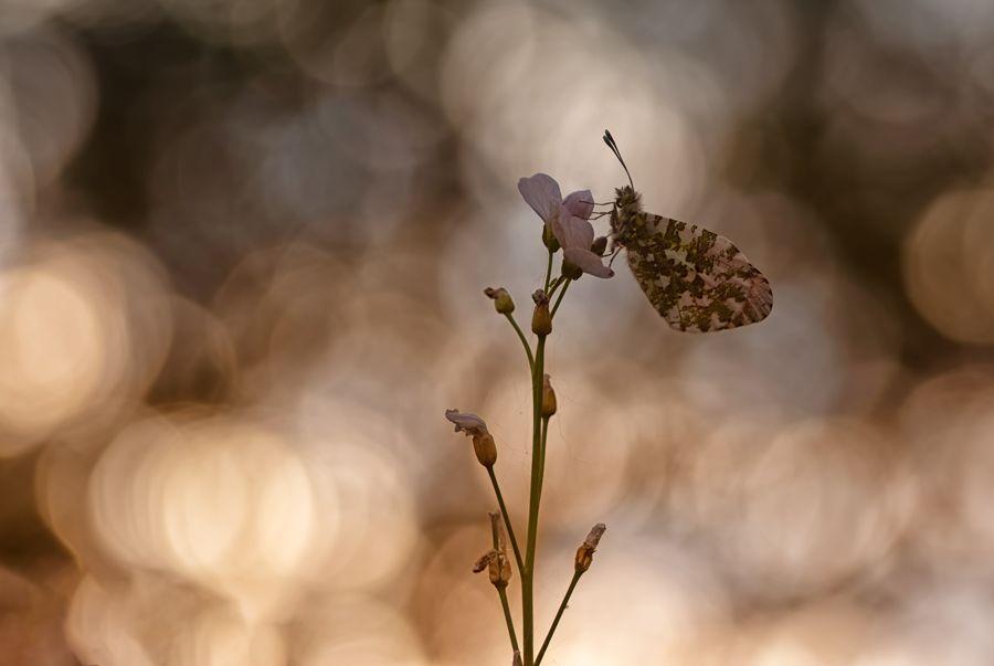 oranjetipje-bokeh-vlinder-natuurfotografie