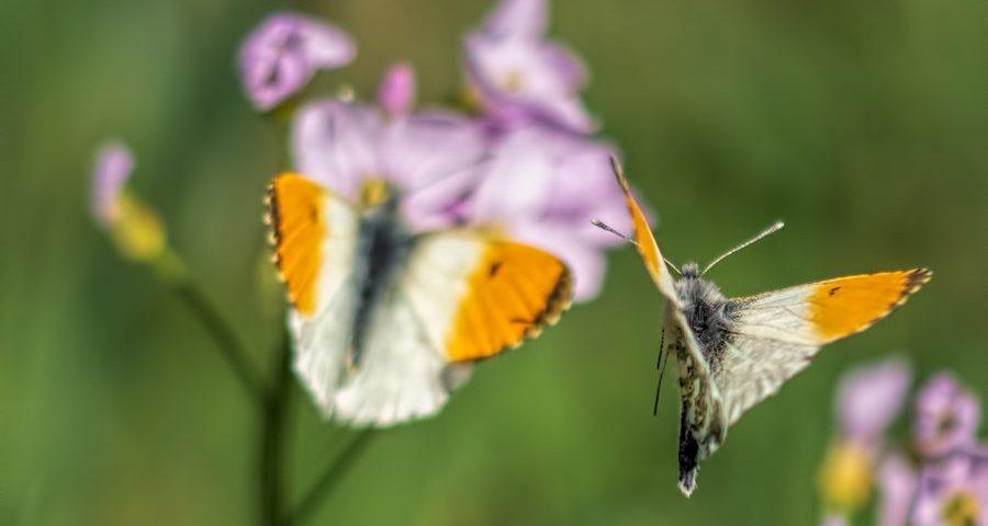 oranjetipjes-vliegend-vlinder-macro