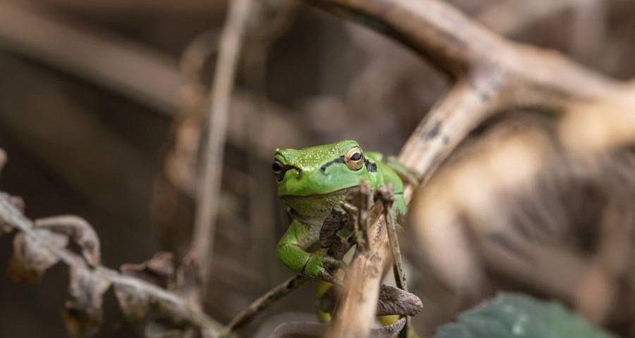 boomkikker-amfibieën-felgroen-natuurfotografie