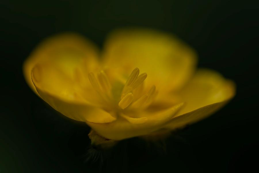 boterbloem-onkruid-macrofoto