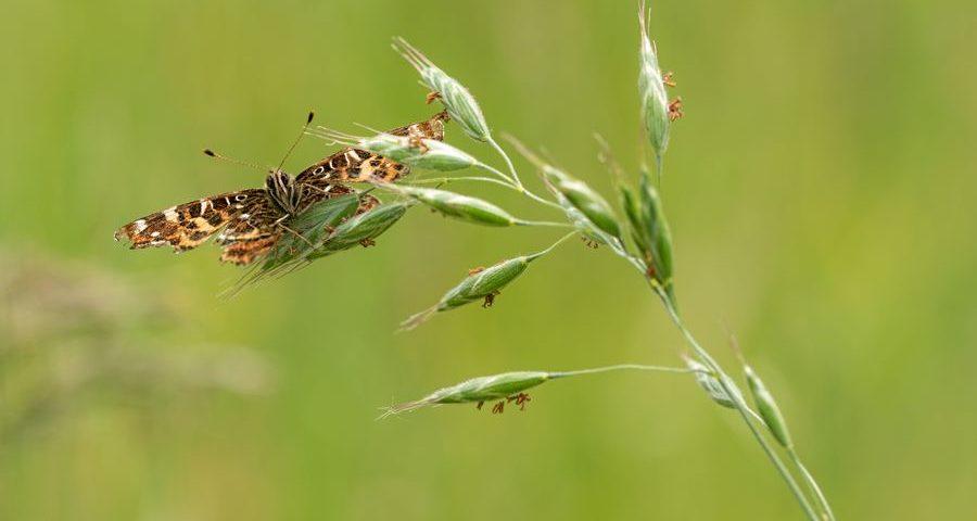 landkaartje-dagvlinder-voorjaarsgeneratie
