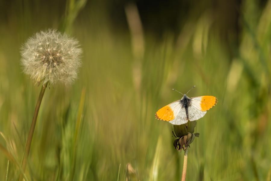 oranjetipje-paardenbloem-dagvlinder