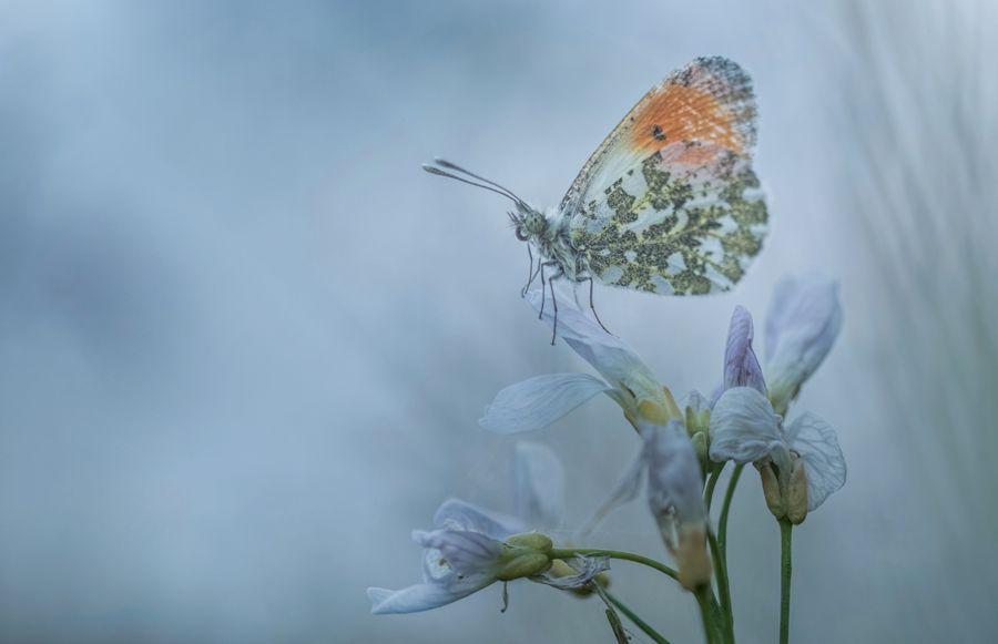 oranjetipje-dagvlinder-lente-macro