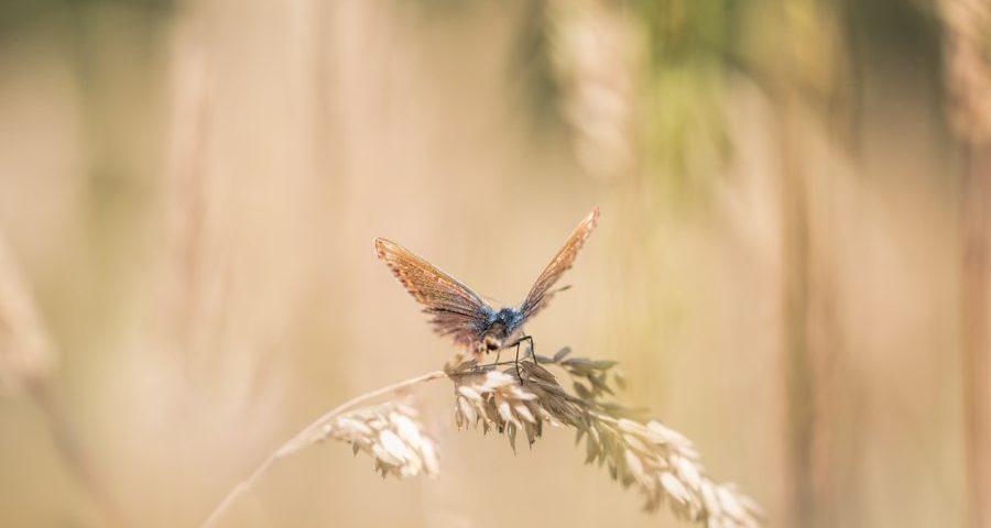 icarusblauwtje-vlinder-macrofotografie