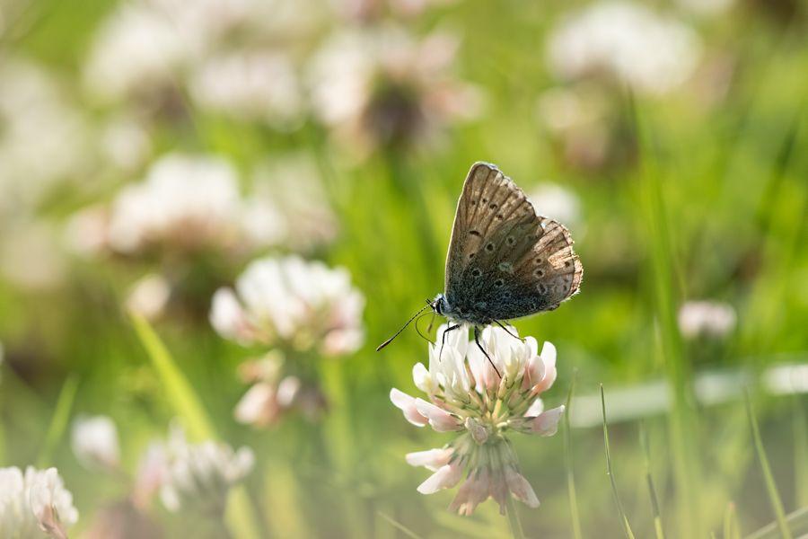 icarusblauwtje-rolklaver-vlinder