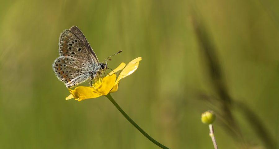 icarusblauwtje-boterbloem-vlinder