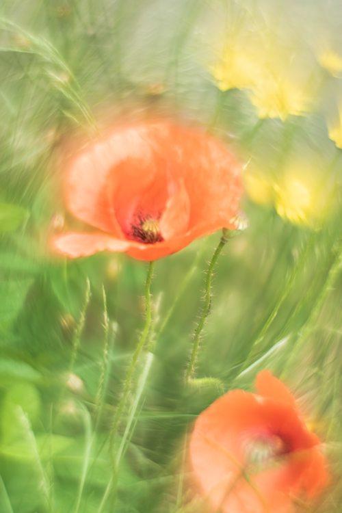 klaprozen-weidebloemen-helios