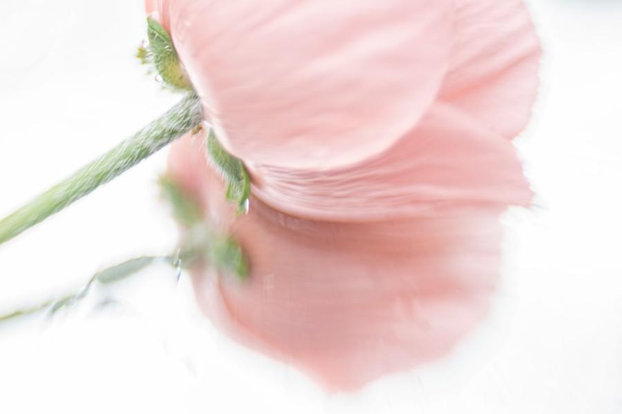oosterse-papaver-klaproos-roze