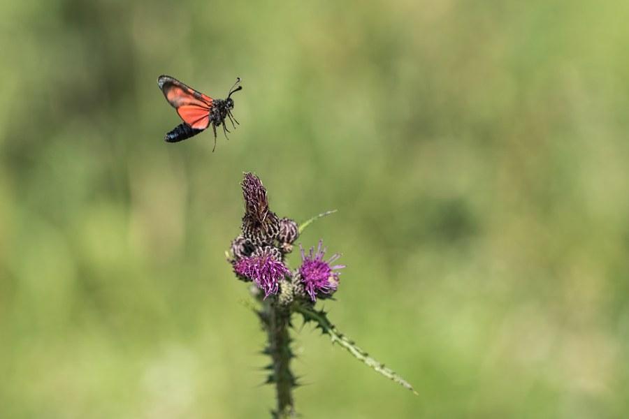 vliegende-st-jansvlinder