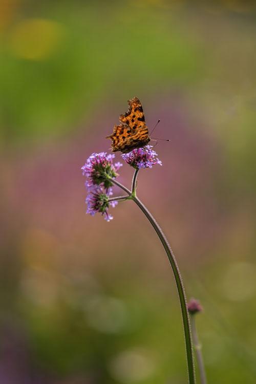 gehakkelde-aurelia-vlinder-dagvlinder