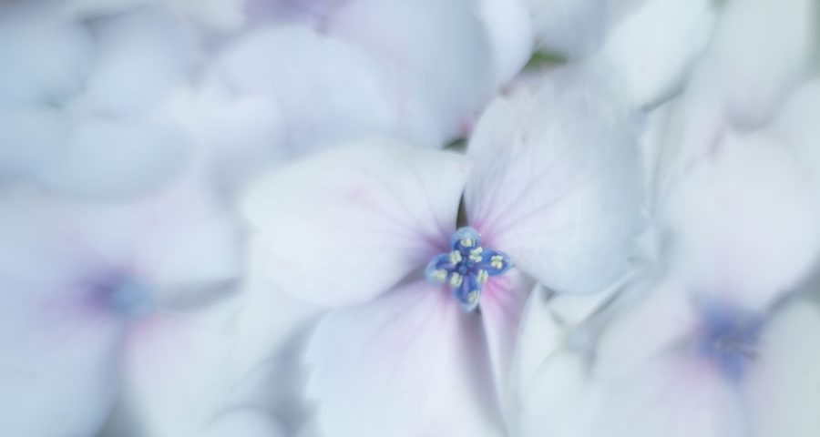 hortensia-hydrangea-helios
