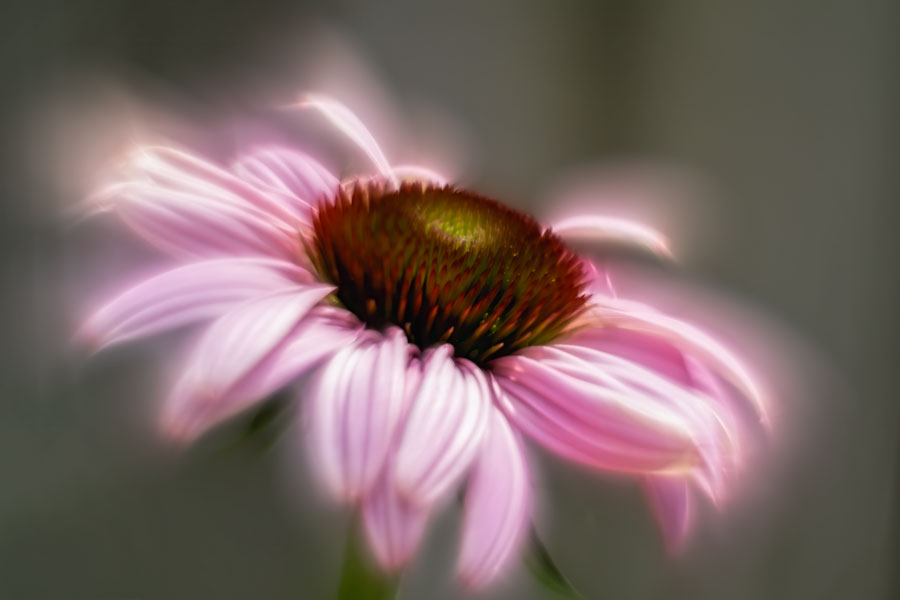 rode-zonnehoed-helios-echinacea- purpurea