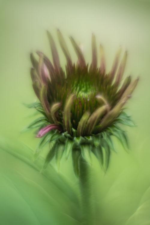 rode-zonnehoed-echinacea -purpurea-helios