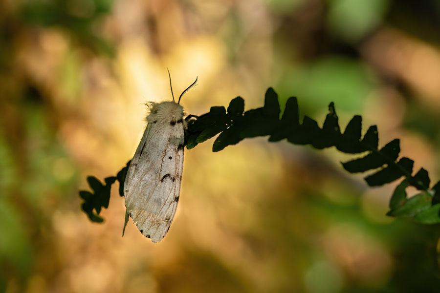 mot-plakker-vrouwtje-nachtvlinder
