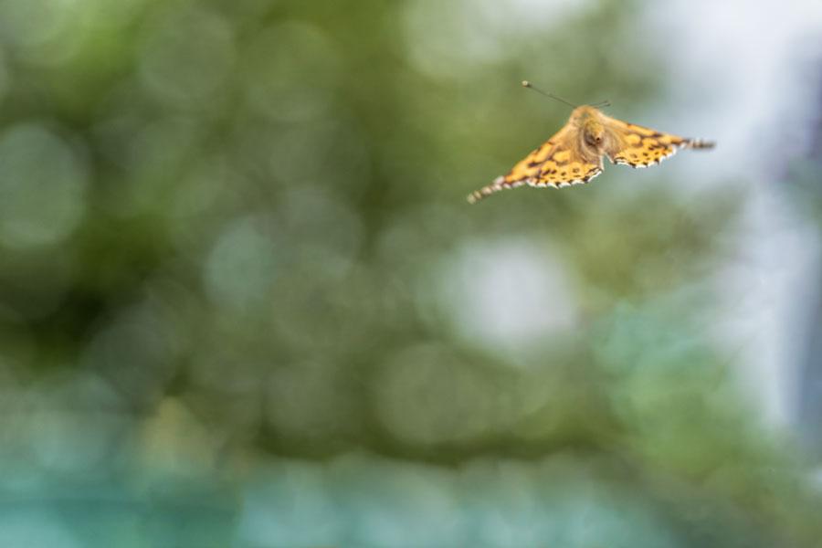 distelvlinder-vliegend-lucht-bokeh