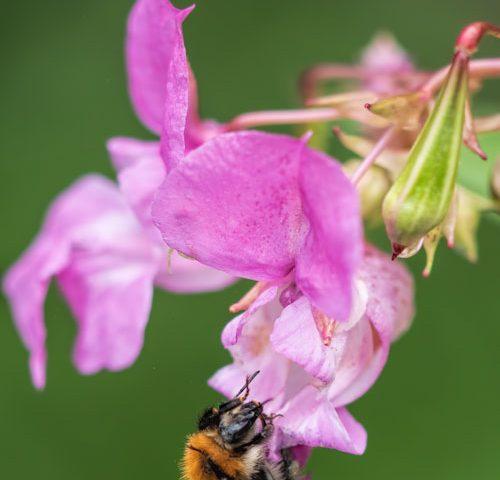 hommel-nectar