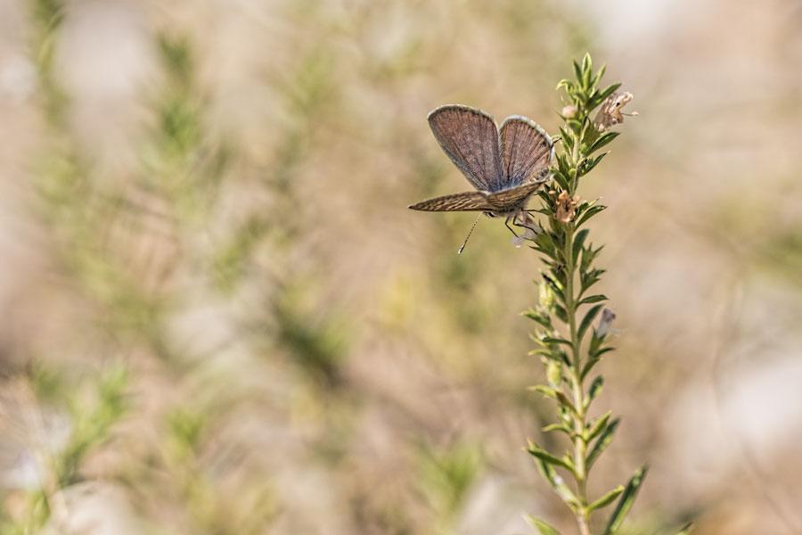 blauwtje-vlinder-dagvlinder
