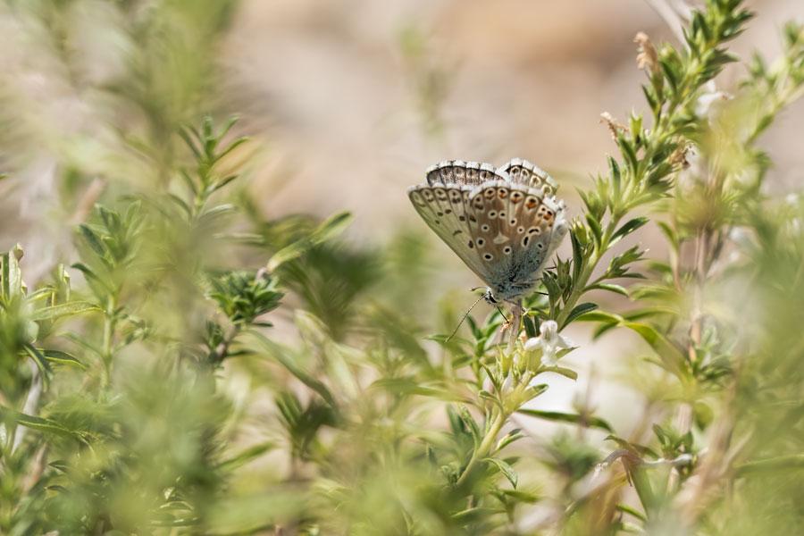 bleek-blauwtje-dagvlinder
