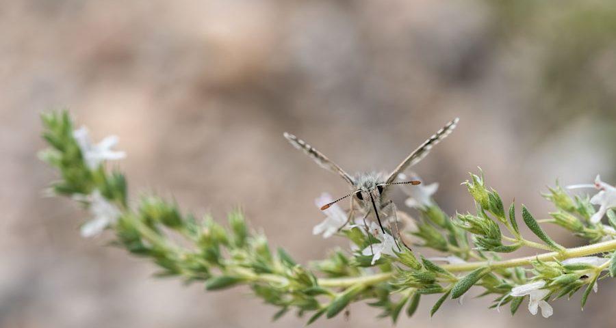 bretons-spikkeldikkopje-vlinder