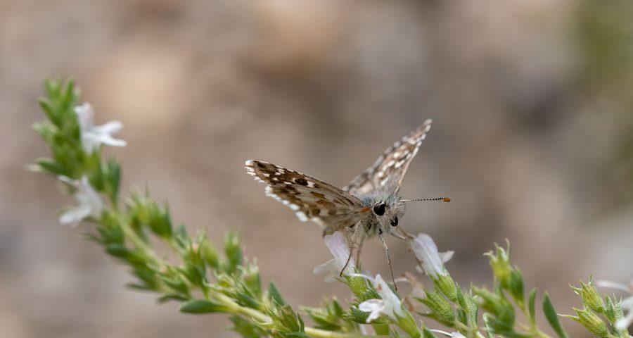 Bretons-spikkeldikkopjevlinder-tijm