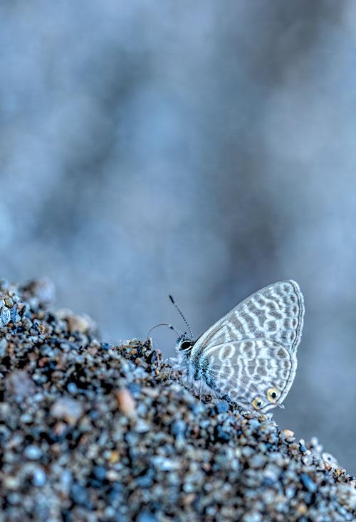klein-tijgerblauwtje-blauwtje-vlinder