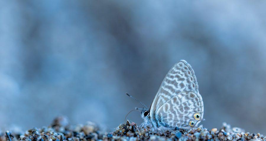 klein-tijgerblauwtje-vlinder-macro