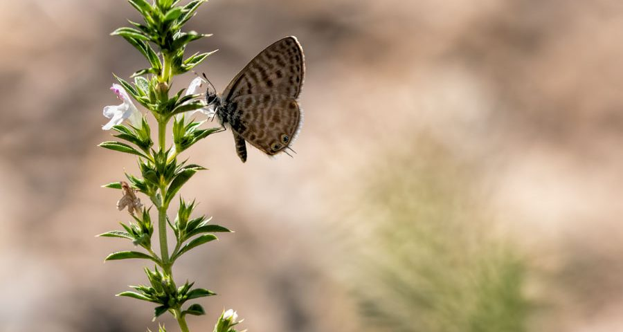 klein-tijgerblauwtje-vlinder-blauwtje