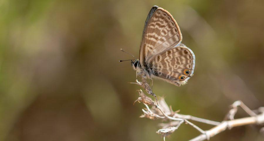 klein-tijgerblauwtje-blauwtje