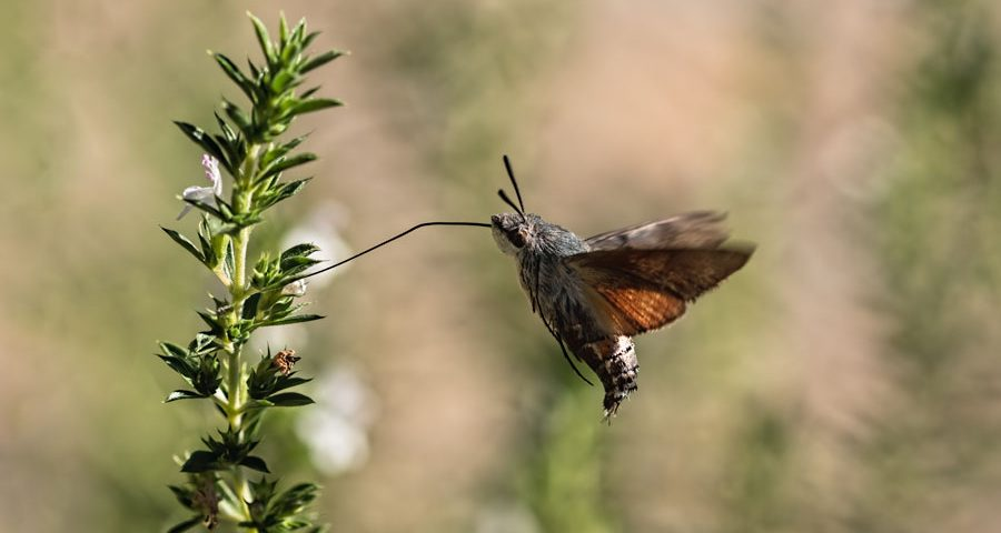 kolibrievlinder-vlinder-tijm