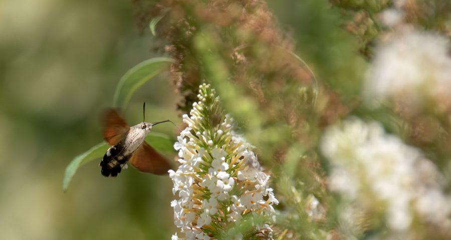 kolibrievlinder-vlinder-insect