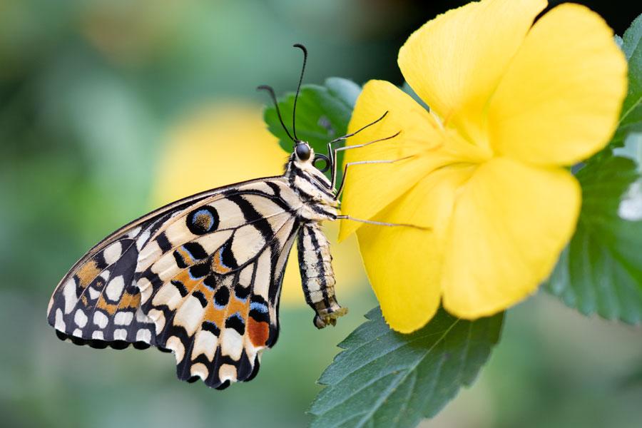 limoenvlinder-papilio-demoleus