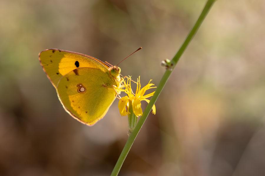Oranje-luzerne-vlinder-dagvlinder