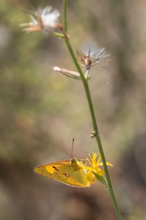 oranje-luzernevlinder