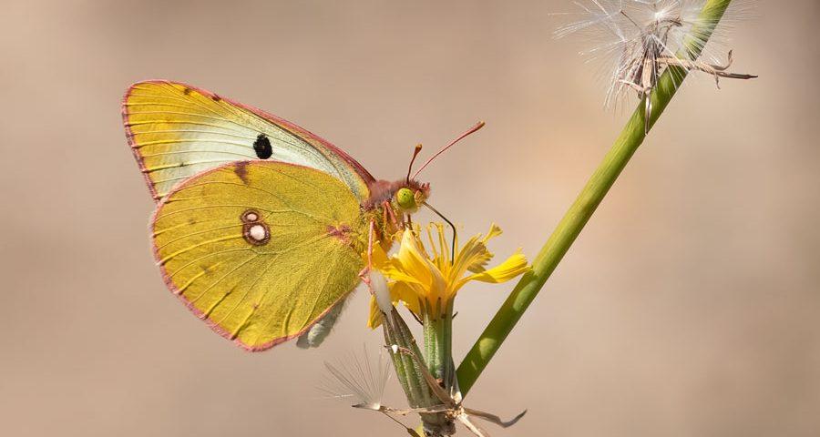 Oranje-luzernevlinder --vrouwtje-vorm-helice