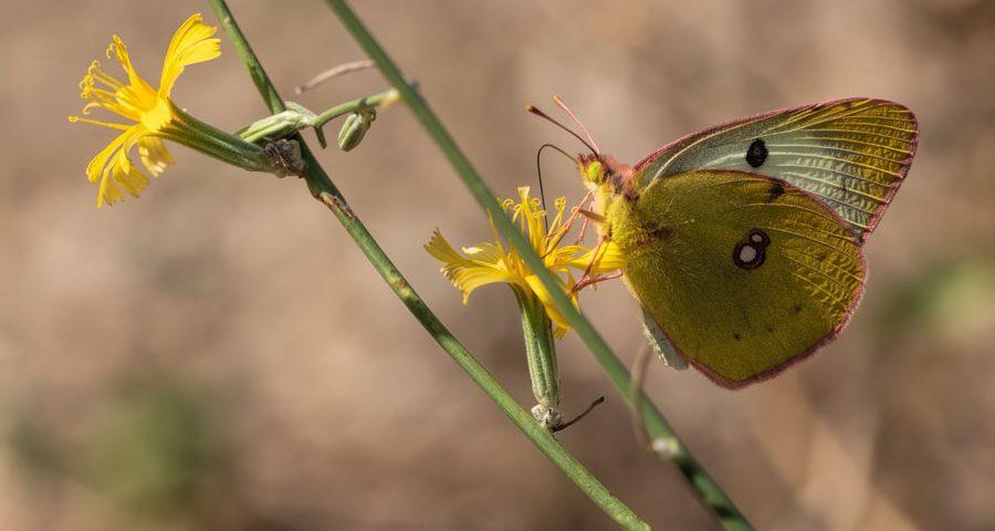 oranje-luzernevlinder vrouwtje-vorm-helice