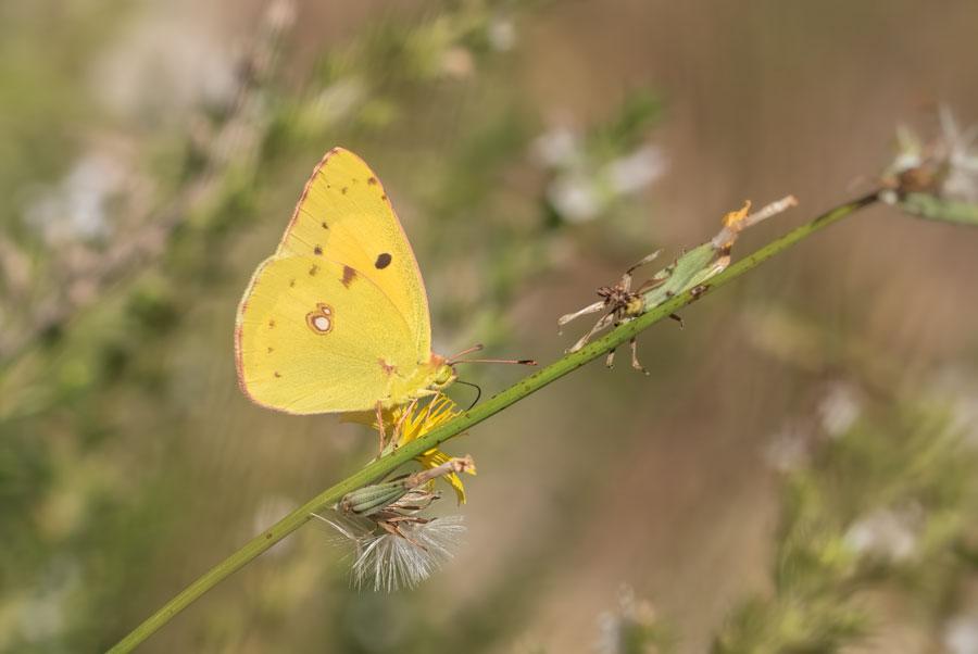 oranje-luzerne-vlinder