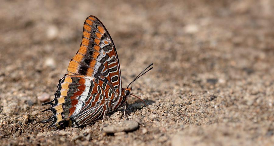pasjavlinder-jasiusvlinder- nymphalidae