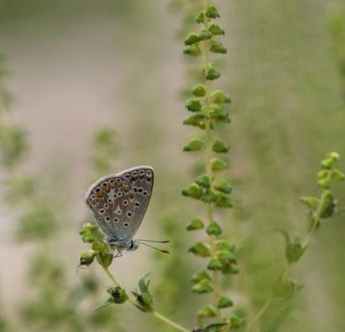bleek-blauwtje-vlinder-dagvlinder