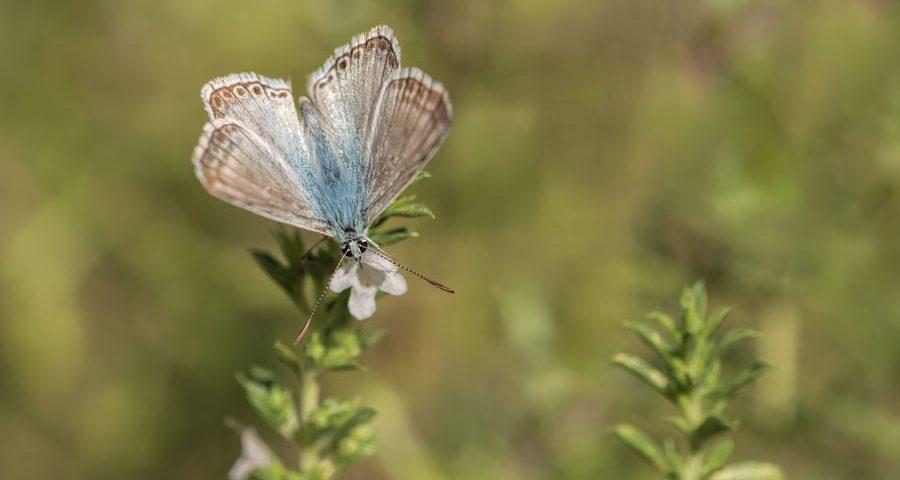 bleek-blauwtje-vlinder