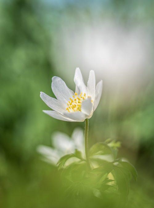 anemoon-bos-voorjaar-bloem